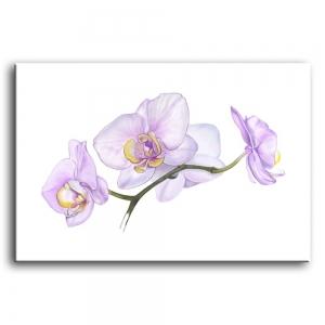 орхидеи C4-004
