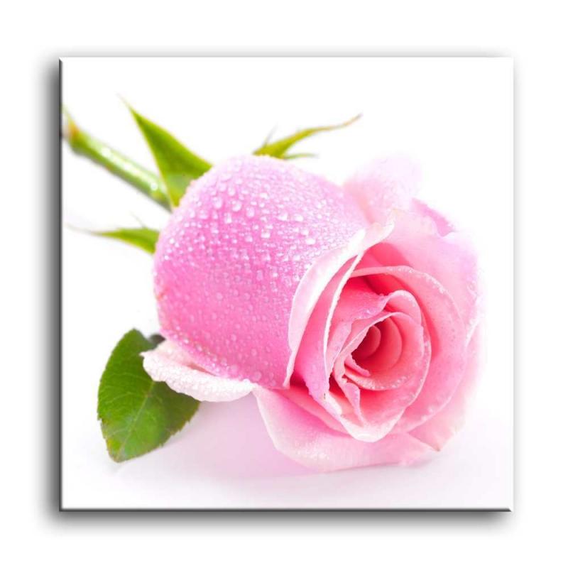 розы C1-023
